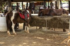 Dwarf horse standing relax in stable at animal farm in Saraburi, Thailand stock image