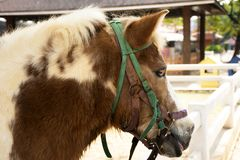 Dwarf horse standing relax in stable at animal farm in Saraburi, Thailand stock photos