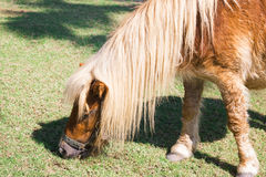 Dwarf horse Stock Photo