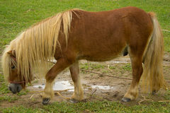 Dwarf horse walking. Dwarf horses is walking in garden Stock Photos