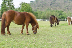 Dwarf horses Stock Photos