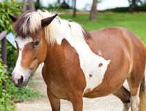 Dwarf horses in garden. White and brown color Stock Photography