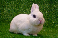 Dwarf hotot. White dwarf hotot rabbit pose on grass background royalty free stock photo