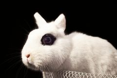 Dwarf Hotot Rabbit in Basket on Black Background Stock Photography