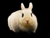 Dwarf Hotot Rabbit Royalty Free Stock Photography