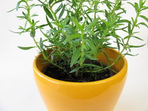 Dwarf hyssop. In herb pot stock photos