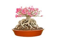 Dwarf Impala Lily in  flowerpot Stock Image