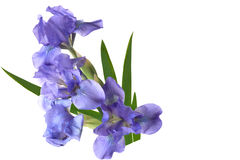 Dwarf Iris Royalty Free Stock Images