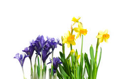 Dwarf iris and daffodils. Isolated on white Royalty Free Stock Photography