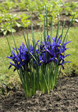Dwarf Iris Stock Images