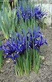 Dwarf Iris Royalty Free Stock Photo