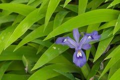 Dwarf Iris Royalty Free Stock Images