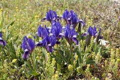 Dwarf Iris Violet Stock Images