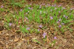Dwarf Irises (I. reticulata) Royalty Free Stock Image