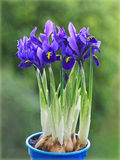 Dwarf irises Royalty Free Stock Photos