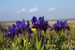 Dwarf Irises Violet Stock Photos
