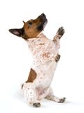 Dwarf Jack Russell Terrier. Sits on rear end with front paws raised up.  Dog's face is in profile looking upward Stock Image