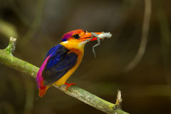 Dwarf Kingfisher (Ceyx erithaca) Royalty Free Stock Photo