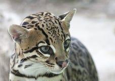 Dwarf leopard Stock Image