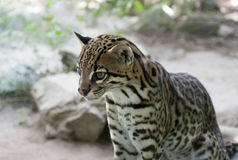 Dwarf leopard stock photos