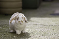 Dwarf lop eared pet rabbit Royalty Free Stock Photo