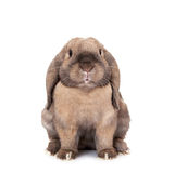 Dwarf lop-eared rabbit breeds Ram. In the Oriental calendar 2011 - the year of rabbit Stock Images