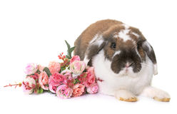 Dwarf lop-eared rabbit Royalty Free Stock Photo