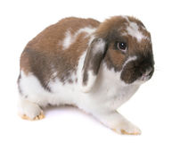 Dwarf lop-eared rabbit Royalty Free Stock Images