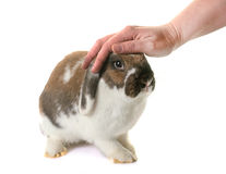 Dwarf lop-eared rabbit Stock Photography