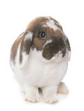 Dwarf lop-eared rabbit Royalty Free Stock Image