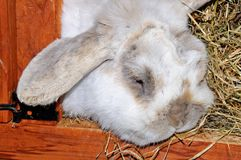 Dwarf Lop rabbit. Stock Photo