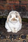 Dwarf Lop rabbit. Stock Images