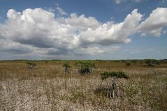 Dwarf Mangrove Trees of Everglades National Park. The Dwarf Mangrove Trees of Everglades National Park, Florida, in extreme drought conditions stock images