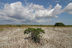 Dwarf Mangrove Trees of Everglades National Park. The Dwarf Mangrove Trees of Everglades National Park, Florida, in extreme drought conditions royalty free stock image