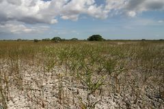 Dwarf Mangrove Trees of Everglades National Park. The Dwarf Mangrove Trees of Everglades National Park, Florida, in extreme drought conditions stock photos