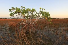 Dwarf Mangrove Trees of Everglades National Park, Florida. Dwarf Mangrove Trees in late afternoon light in Everglades National Park, Florida royalty free stock photos