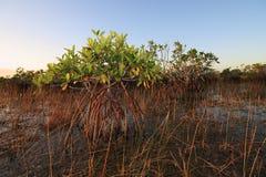 Dwarf Mangrove Trees of Everglades National Park, Florida. Dwarf Mangrove Trees in late afternoon light in Everglades National Park, Florida stock photo