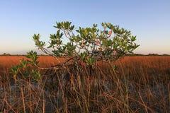 Dwarf Mangrove Trees of Everglades National Park, Florida. Dwarf Mangrove Trees in late afternoon light in Everglades National Park, Florida stock photography