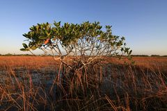 Dwarf Mangrove Trees of Everglades National Park, Florida. Dwarf Mangrove Trees in late afternoon light in Everglades National Park, Florida stock image
