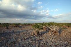 Dwarf Mangrove Trees of Everglades National Park, Florida. Dwarf Mangroves Trees of Everglades National Park, Florida, under drought conditions royalty free stock photo