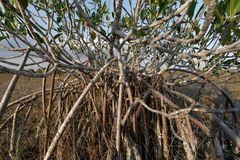 Dwarf Mangrove Trees of Everglades National Park, Florida. Dwarf Mangroves Trees of Everglades National Park, Florida, under drought conditions royalty free stock images