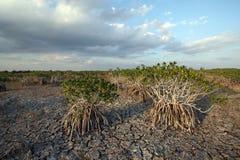 Dwarf Mangrove Trees of Everglades National Park, Florida. Dwarf Mangroves Trees of Everglades National Park, Florida, under drought conditions stock images