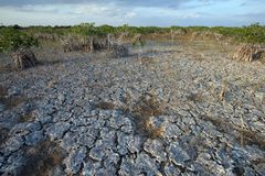 Dwarf Mangrove Trees of Everglades National Park, Florida. Dwarf Mangroves Trees of Everglades National Park, Florida, under drought conditions stock photo