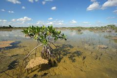 Dwarf Mangrove Trees of Everglades National Park, Florida. stock photography