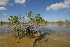 Dwarf Mangrove Trees of Everglades National Park, Florida. royalty free stock image
