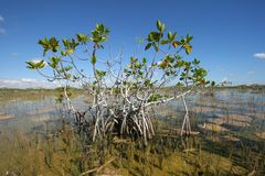 Dwarf Mangrove Trees of Everglades National Park, Florida. royalty free stock photography
