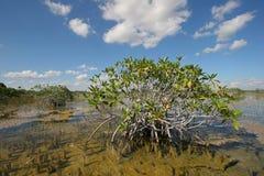 Dwarf Mangrove Trees of Everglades National Park, Florida. stock image