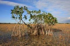 Dwarf Mangrove Trees of Everglades National Park, Florida. Dwarf Mangroves Trees of Everglades National Park, Florida, in afternoon light royalty free stock image