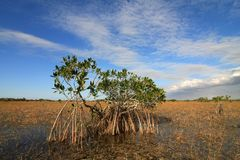Dwarf Mangrove Trees of Everglades National Park, Florida. Dwarf Mangroves Trees of Everglades National Park, Florida, in afternoon light royalty free stock photos