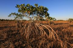 Dwarf Mangrove Trees of Everglades National Park, Florida. Dwarf Mangroves Trees of Everglades National Park, Florida, in afternoon light royalty free stock photography